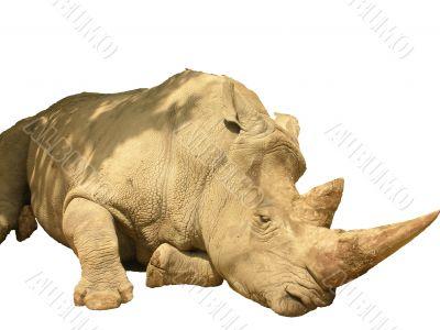 African rhinoceros