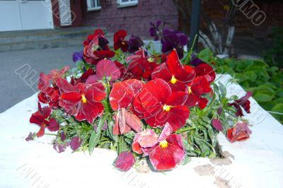 Beautiful red flowers viola in the flowerbed.