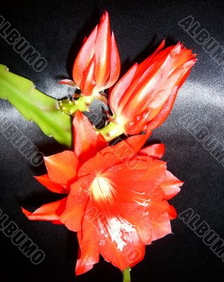 Epiphyllum flowers on a black background.