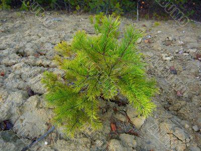 Small pine.
