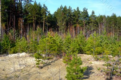 Pine forest growing on white clay.
