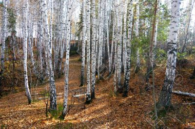 In  birch forest in autumn.