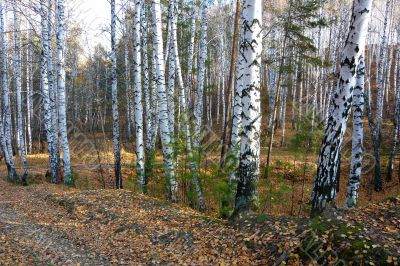 In the birch forest the autumn.