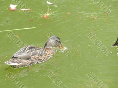 Nice duckling