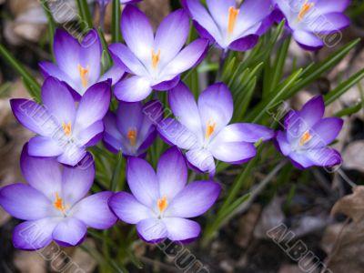 Flower-crocus-big