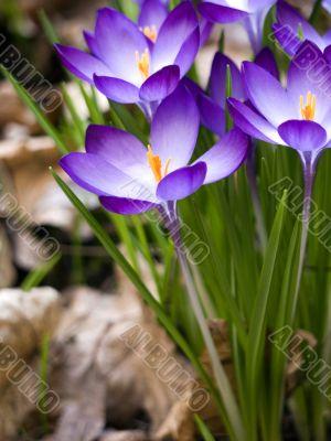 Flower-crocus-tall