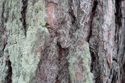 Background of a pine bark.