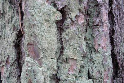 Part of a pine bark.