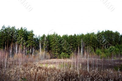 Before the pine forest in autumn.