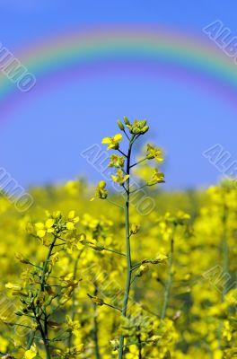 Rape field, canola crops on blue sky