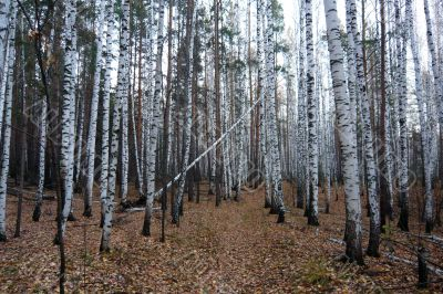 Birch-pine forest in autumn.
