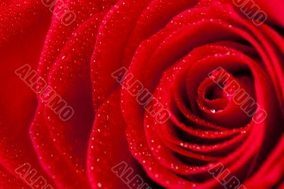 Close Up Rose Petals With Droplets