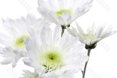 close up shot of white flowers