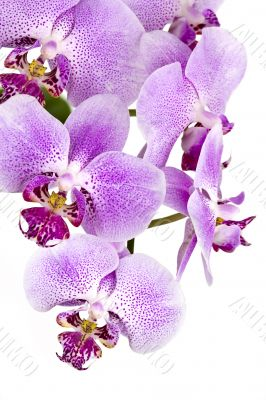 Full purple orchid composition