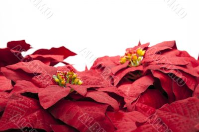 red poinsettia flowers on white