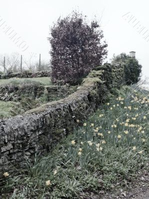 Daffodils and Stone Wall