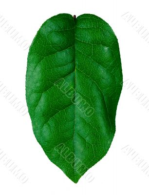 healthy  green leaf
