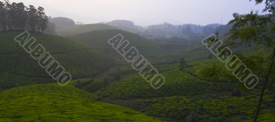 rolling tea fields with sunset