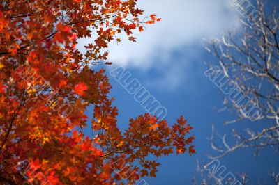 shot of maple leaves