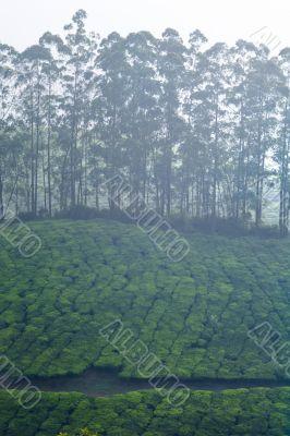 tree line in the tea fields