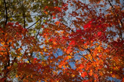 image of maple leaves