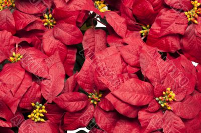 full frame image of poinsettia flowers