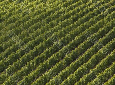 aerial view on a vineyard in tuscany