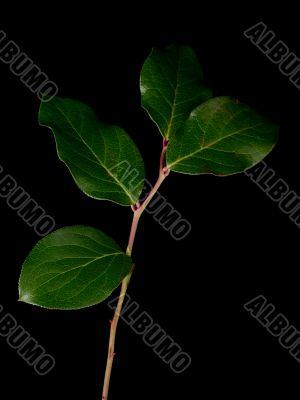 green leaves against black background