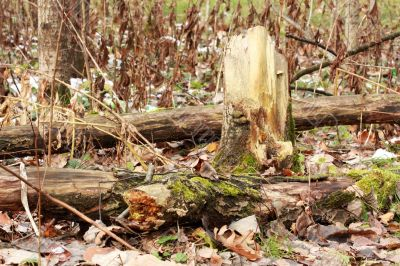 Moss on the old tree stump