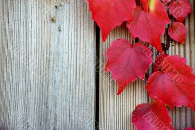 Vine leaves in the fall