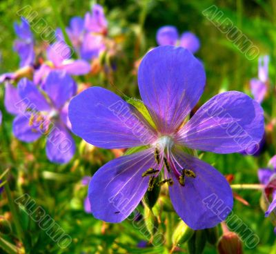 Blue-lilac geranium flower meadow.