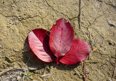 Three red leaves of the tree together.