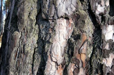A bark of the pine.