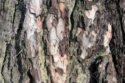 Background of part pine bark.