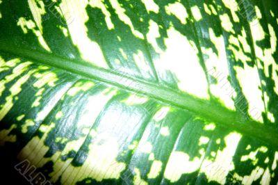 Dieffenbachia leaf as a background.