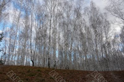 A wall of trees in the birch forest in the autumn.