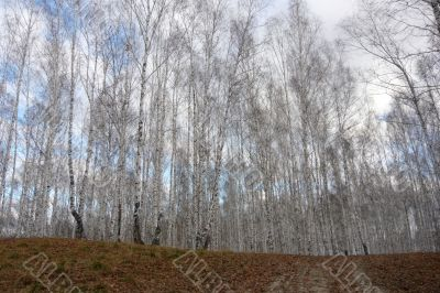Background of trees in the birch forest in the autumn.