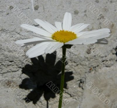 Simple flower and its shadow.