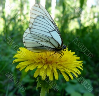 Dandelion flower and a butterfly.