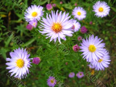 The flowers of blue beautiful asters