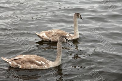 Two swans swimming together