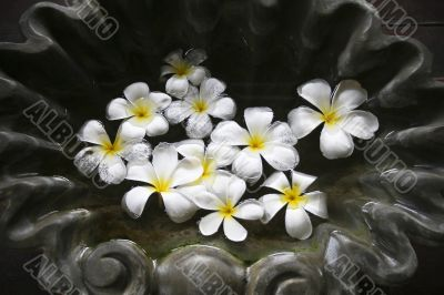 Frangipani flowers and stones in SPA