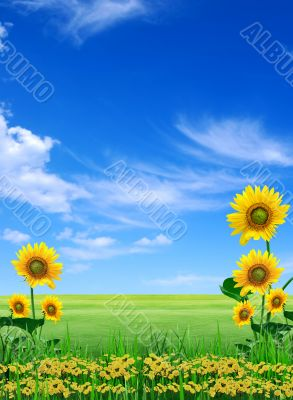 Big meadow of sunflowers. Design of nature
