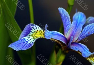 Flower Iris