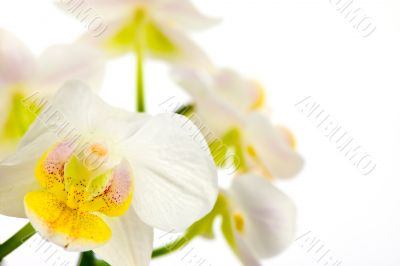 White orchids with blurred background