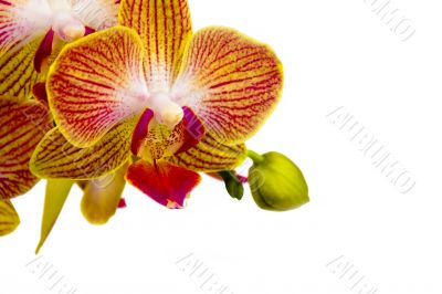 Orchid and green bud on white background