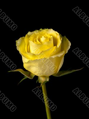 Yellow Single Stemmed Rose on Black Background
