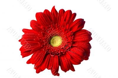 Red Gerbera Daisy on White