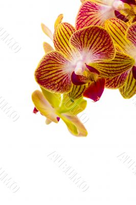 Red and yellow orchids on whte background
