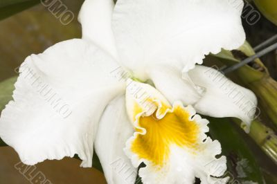 ruffled white orchid